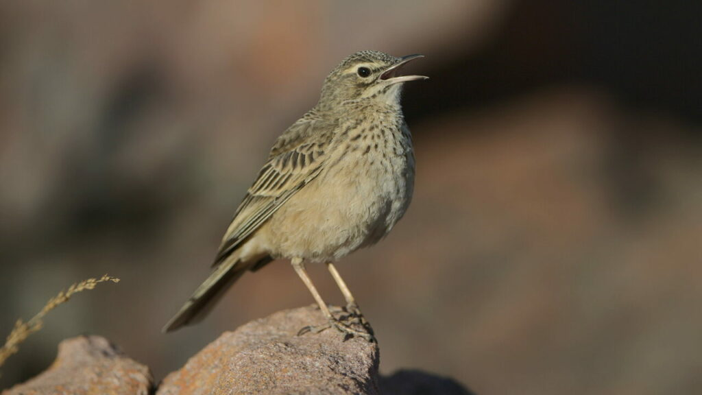 Long-billed pipit calling