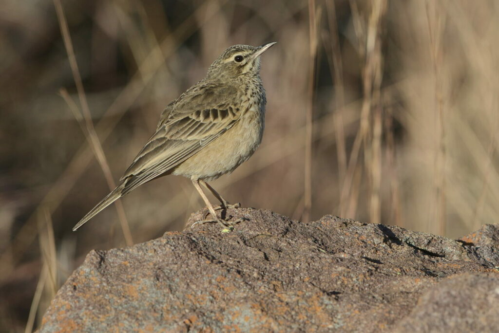Long-billed pipit on a rock