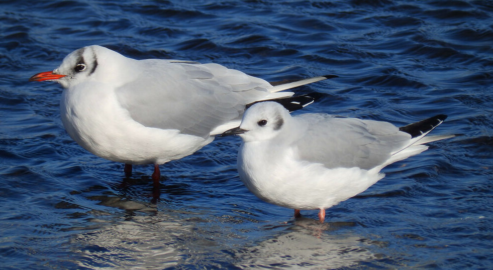 A couple of Lancy's special gulls!