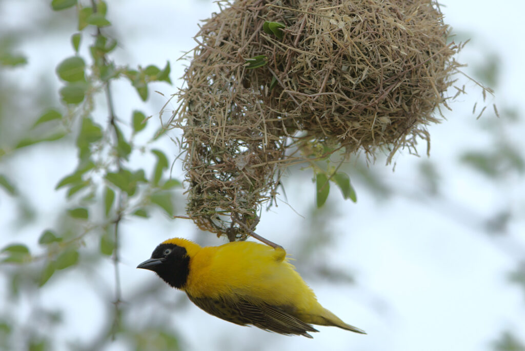 A male lesser masked weaver is vigilent, as he has spotted the female diederik cuckoo in the area.