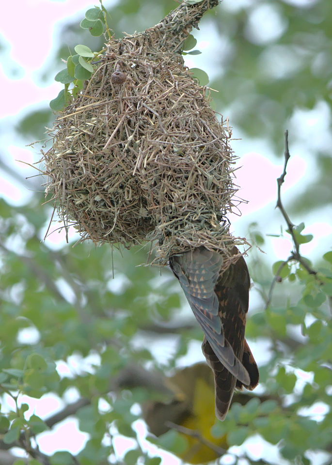 Cuckoo has unobstructed access to nest.