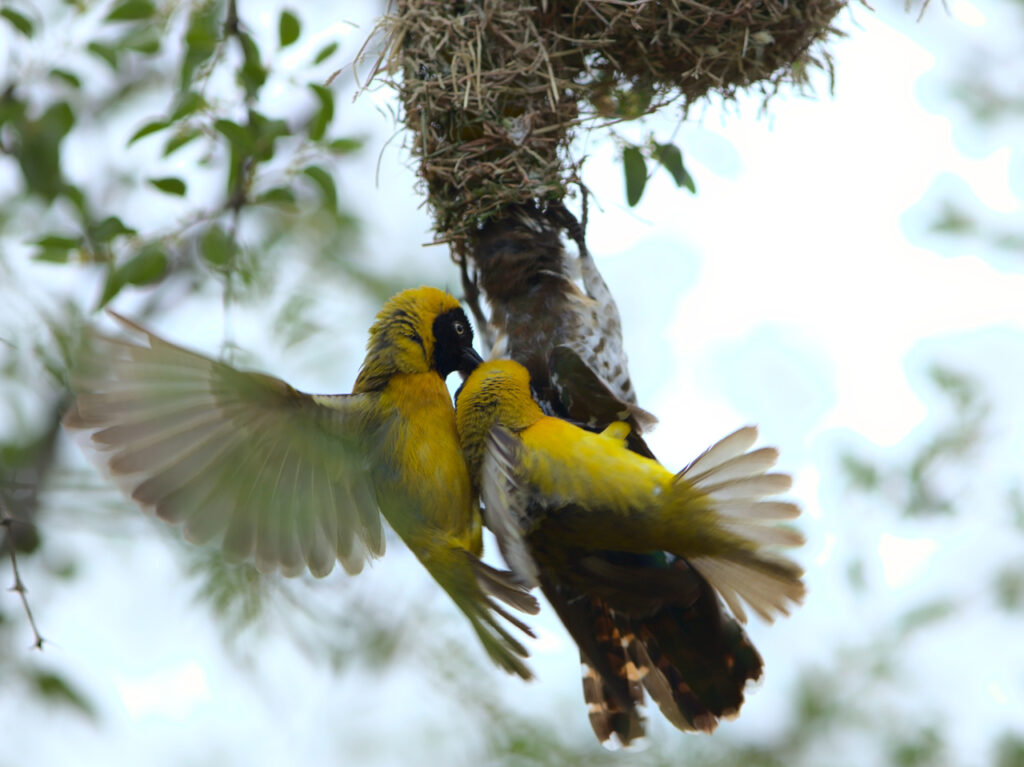 Two male lesser masked weavers attempting to extract a female diederik cuckoo from a nest