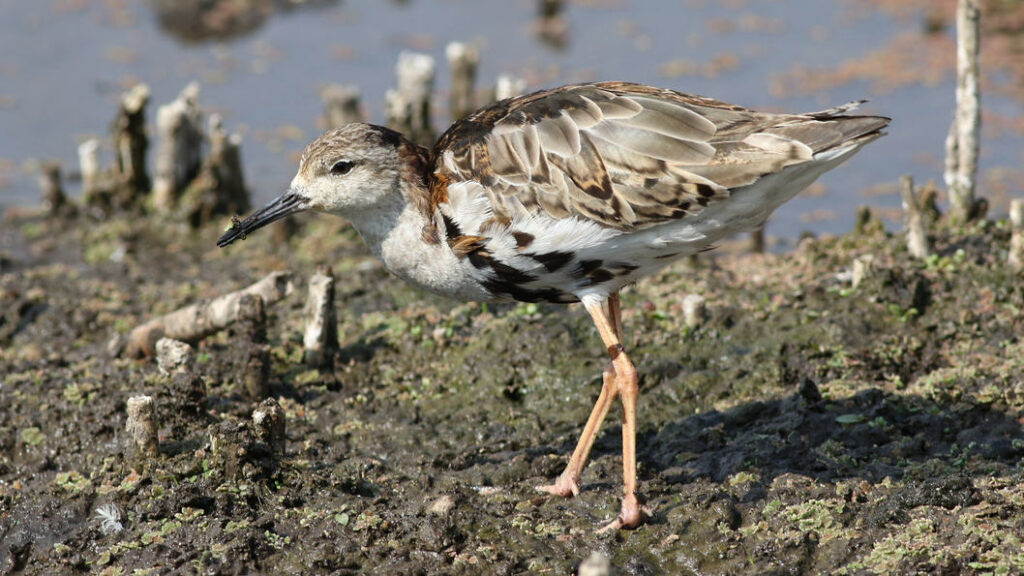 Early arrival ruff at Marievale still showing remnants of the breeding plumage.