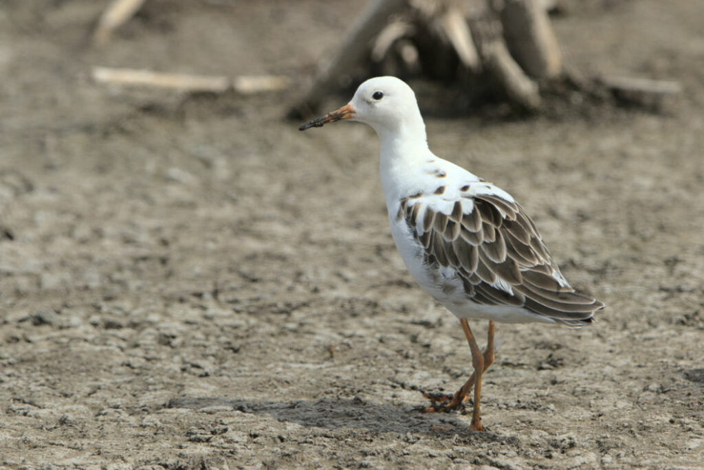 Possible satellite male ruff in winter plumage at Marievale.