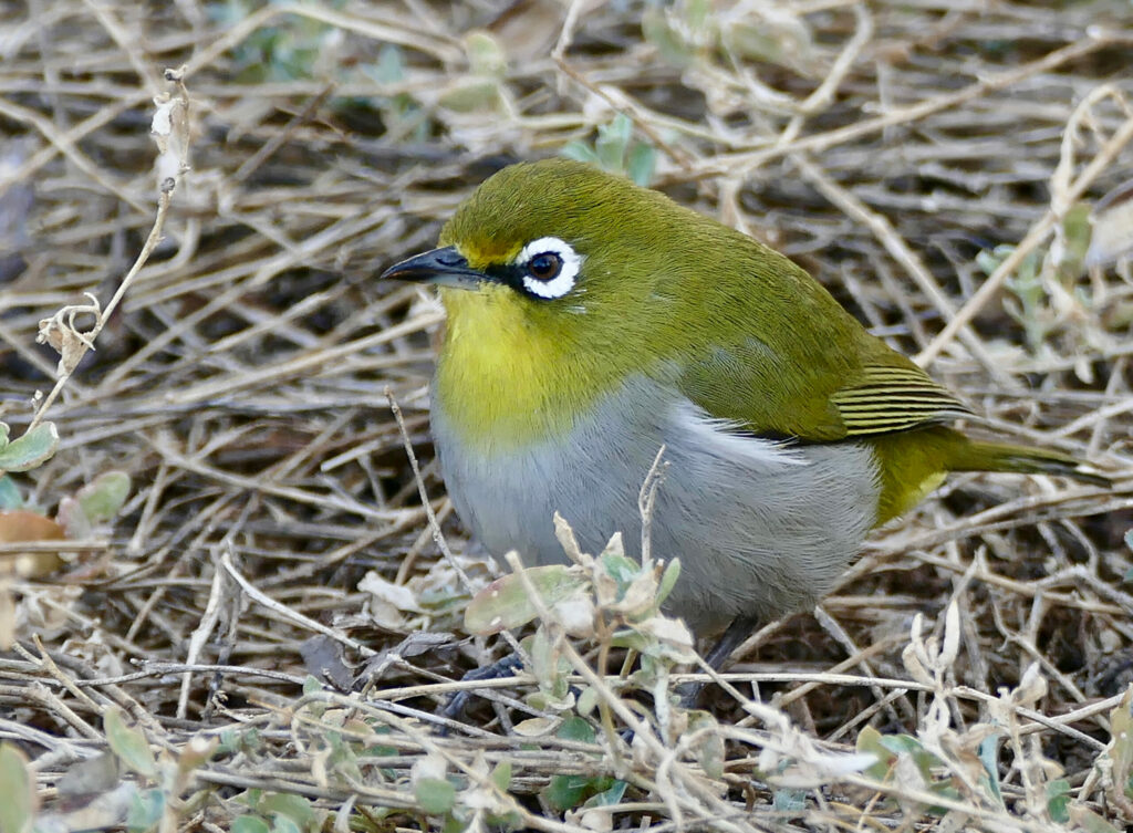 Cape White-eye - capensis subspecies